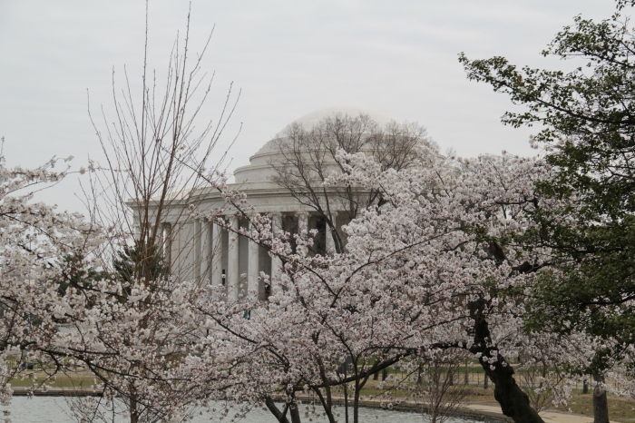 Cherry Blossoms - March 27, 2011